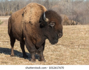 American bison (Bison bison) at Neal Smith Wildlife Refuge