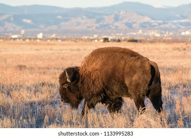 American Bison on the Colorado Plains
