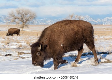 American Bison on the Now Covered Plains of Colorado
