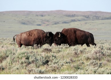 American bison (Bison bison), American Prairie Reserve, Eastern Montana, USA