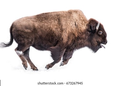 An American Bison Running in Snow with Its Tongue Out