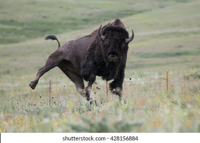 American Bison with shaggy spring shedding coat Jumping for Joy with leg kicking out