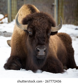 American bison sitting in snow