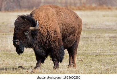 american bison  standing in a field along the wildlife drive in the rocky mountain arsenal wildlife refuge in early spring in commerce city,  near denver, colorado