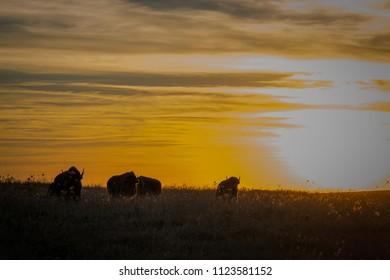 American bison at sunset