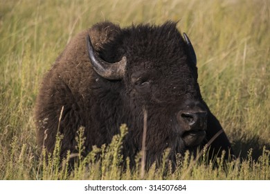 American bison (Bison bison)  - Wind Cave National Park, Black Hills, South Dakota
