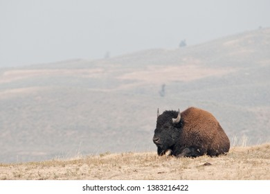American bison, bison bison, Yellowstone national park, USA