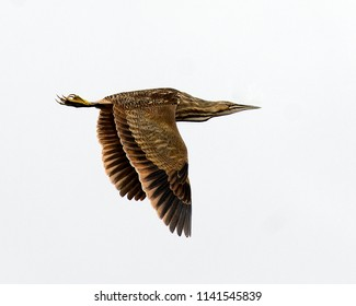 American bittern bird in its environment.