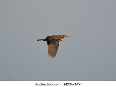 American Bittern bird in flight