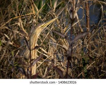 American Bittern Bird in wildlife