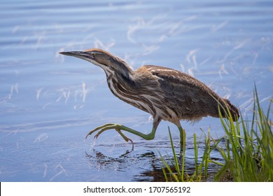 American Bittern in blue water with green grass with foot raised