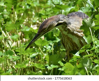 An American bittern (Botaurus lentiginosus) stalks its prey among the floating marsh pennywort at the edge of Pinto Lake in California
