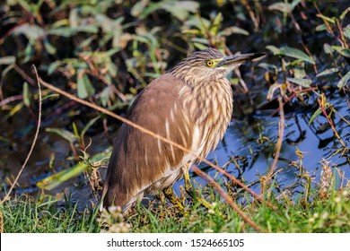 American Bittern is a chunky, large, brown bird that is very similar to the Eurasian bittern aka Botaurus Stellaris, a little smaller, and the plumage is speckled rather than being barred.