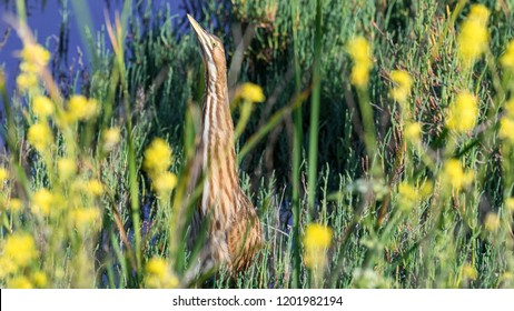 American Bittern in a flowery marsh.  The bittern uses its cryptic coloration to hide in reeds, raising neck and head to simulate the plants.  It is not working here.