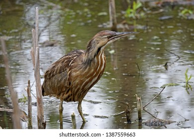 American bittern in a marsh. It is a species of wading bird in the heron family of the Pelican order. It has a Nearctic distribution, breeding in Canada and northern and central parts of the US.