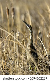 American Bittern mimics the surrounding vegetation as it stands perfectly camouflaged during its spring migration in the marsh at Alamosa National Wildlife Refuge in southern Colorado