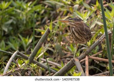 american bittern perched on fallen reeds in california wetlands