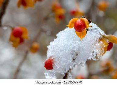 American Bittersweet Winter Time Scene