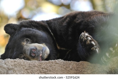 american black bear adult male laying down, santa clarita mountains, california. similar grizzly or brown bear huge hairy predator carnivore yogi usa