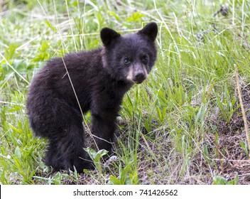 American black bear cub in a forest