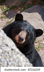 American Black Bear. A curious bear peeks out from its natural habitat on Grandfather Mountain, North Carolina.