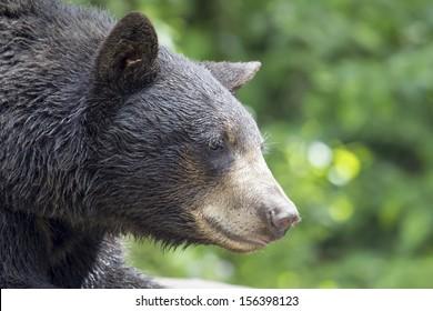 American Black Bear Pacific Northwest Wildlife Animal Portrait Closeup