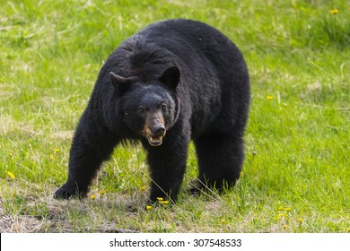 American Black Bear in the springtime, Jasper National Park Alberta Canada