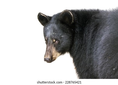 American black bear (Ursus americanus) isolated with white background