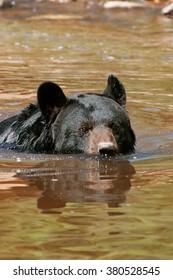 American black bear (Ursus americanus) swimming in the water