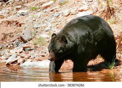 American black bear (Ursus americanus) going into the water