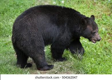 1.810 hình ảnh về Gấu đen Bắc Mỹ, loạt ảnh về động vật hoang dã vô cùng thú vị