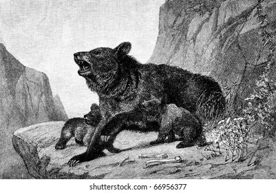 American Black Bear (Ursus americanus) with cubs. Engraved image from 1882 magazine.