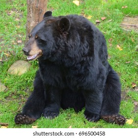 The American black bear (Ursus americanus) is a medium-sized bear native to North America.
