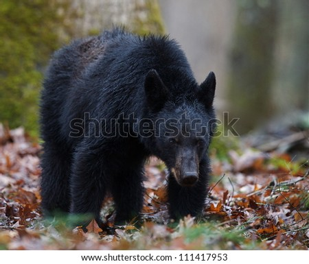 American Black Bear / Ursus americanus in the Smoky Mountains of Tennessee / North Carolina