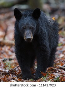 American Black Bear walking straight at the photographer!  Great Smoky Mountains National Park, Tennessee / North Carolina
