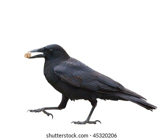 American Black Crow with a peanut isolated on white.