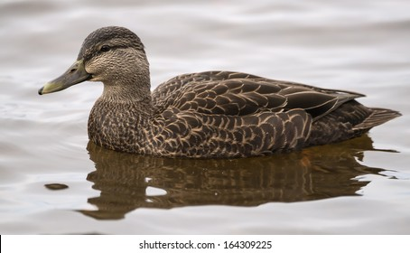 American Black Duck Swimming