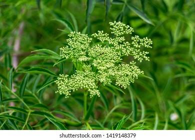 American black elderberry (Sambucus canadensis) flower buds - Long Key Natural Area, Davie, Florida, USA