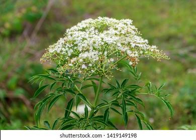 American black elderberry (Sambucus canadensis) white flowers - Long Key Natural Area, Davie, Florida, USA