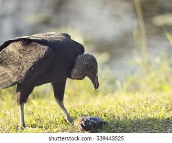 American Black Vulture eating a fish in Florida Wetlands