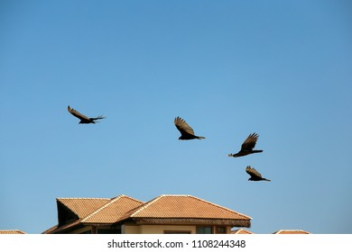 American black vultures flying over houses.Coragyps atratus. New world vulture.