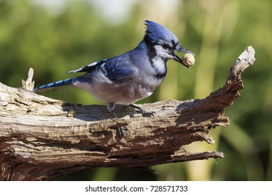 American blue jay in autumn