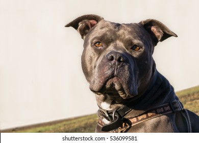 american blue nose bully