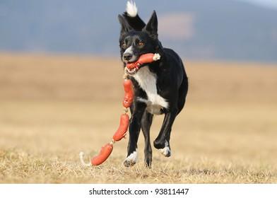 American Border Collie running with hotdog