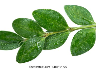 American Boxwood (Buxus Sempervirens) isolated on white background