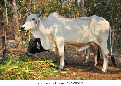 The American Brahman breed has a distinct large boil over the top of the shoulder and neck, and a loose flap of skin (dewlap) hanging from the neck.