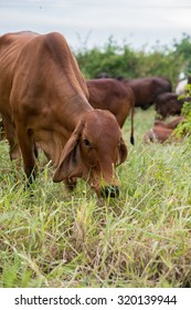 American Brahman Cow Cattle