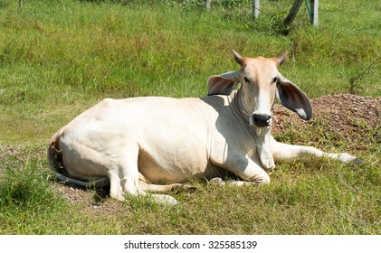 American Brahman Cow Cattle Closeup Portrait