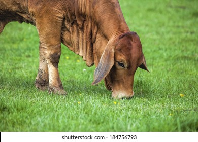 American Brahman Cow Cattle Grazing on Grass on the Farm Closeup