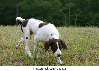 American Brittany Puppy hunting in park
